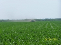corn-mattamuskeet-2