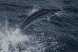 Beautiful Blue Marlin