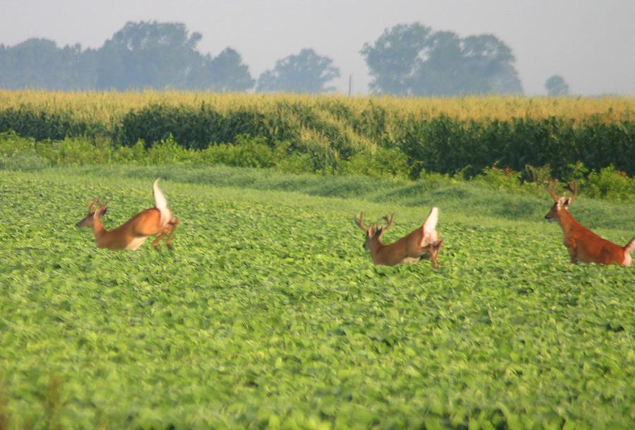 deer in beans