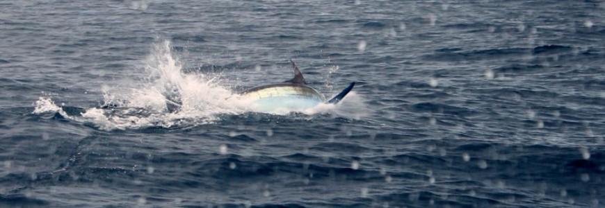 HGS Blue Marlin