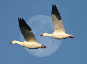 Snow Goose Moon 1 final