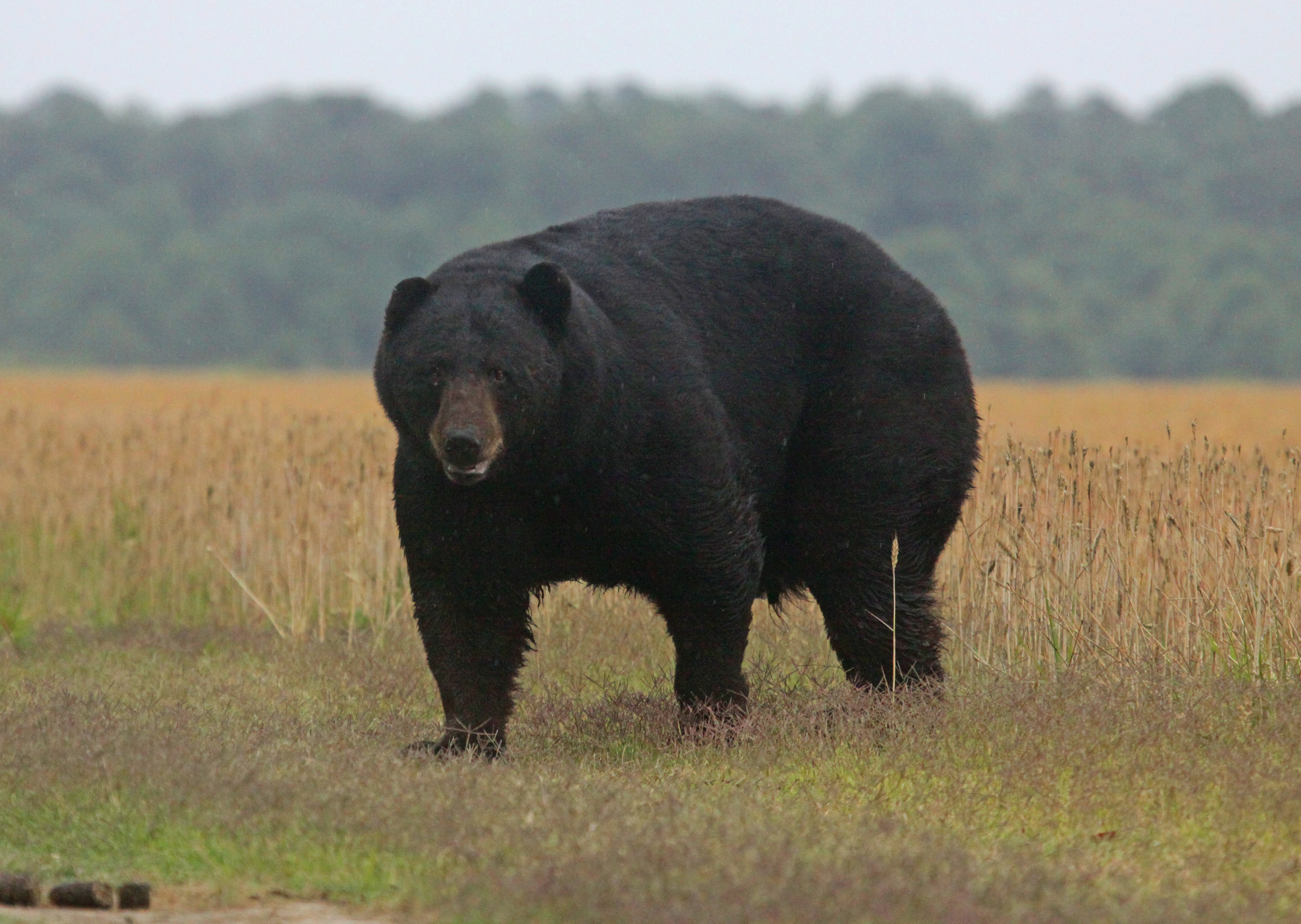 trophy north carolina black bear hunting with north america 39 s most successful guide service. Black Bedroom Furniture Sets. Home Design Ideas